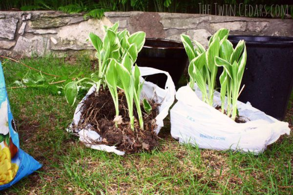 Garden Ideas | when rescuing garden plants use plastic grocery bags for easy transport