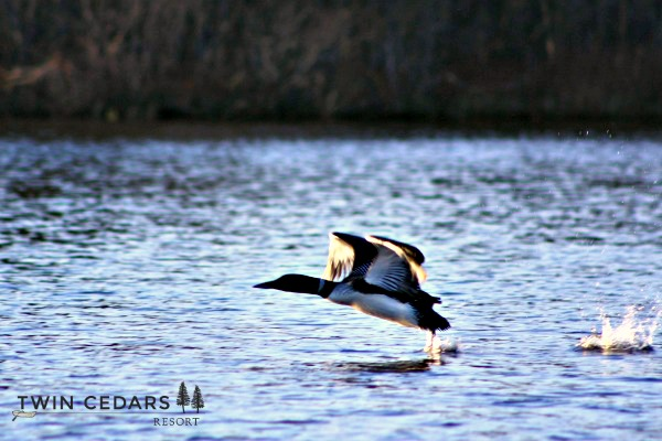 loon taking flight spring 2016-1