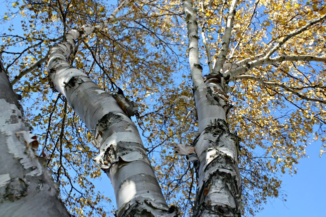 birch-tree-at-twin-cedars-resort