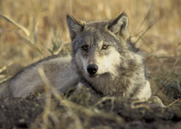 Michigan wolf facts