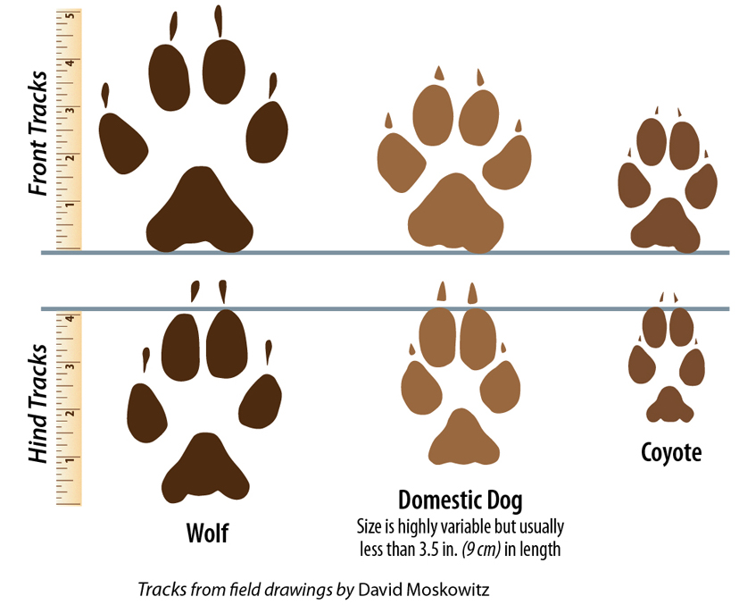 TrackSizeComparison Wolf Facts