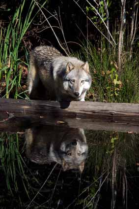 wolf facts for outdoorsmen