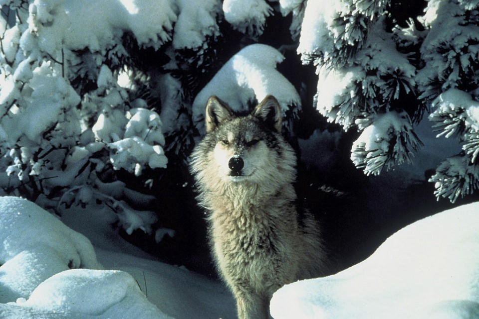 wolf facts in Michigan