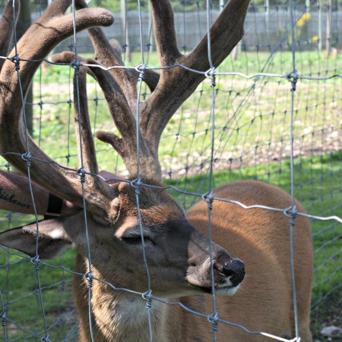 huge buck at The Deer Ranch
