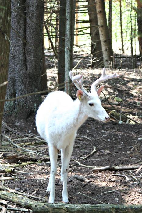 Albino deer at The Deer Ranch