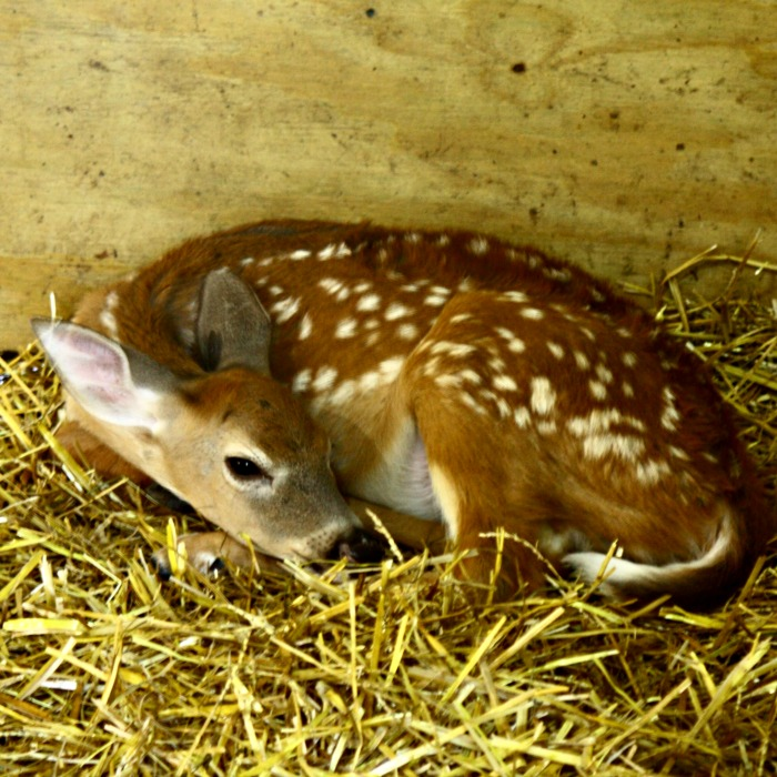 fawn at The Deer Ranch