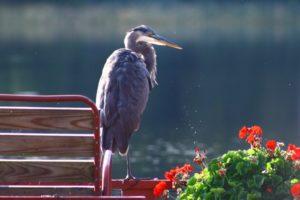 Wildlife at Twin Cedars Resort: great blue heron