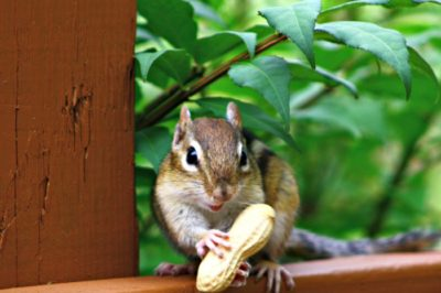 It's ok to be a little nutty…this chipmunk!